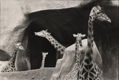 groupe-de-girafes-zoo-de-vincennes-paris