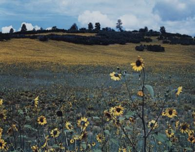 sunflowers-nm